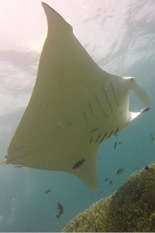 Manta Ray, Federated States of Micronesia